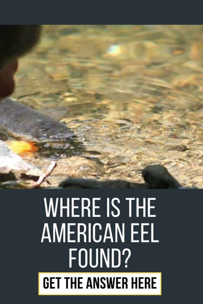 Where is the American Eel found? American Eels can be found in freshwater rivers and spawn in the ocean. Read this article if you want to know where you can find American Eels #eelfishing #fishingforeel #eelfish #eelfishtank #americaneel #americaneelfish #catcheel #eelfishing #catchamericaneel