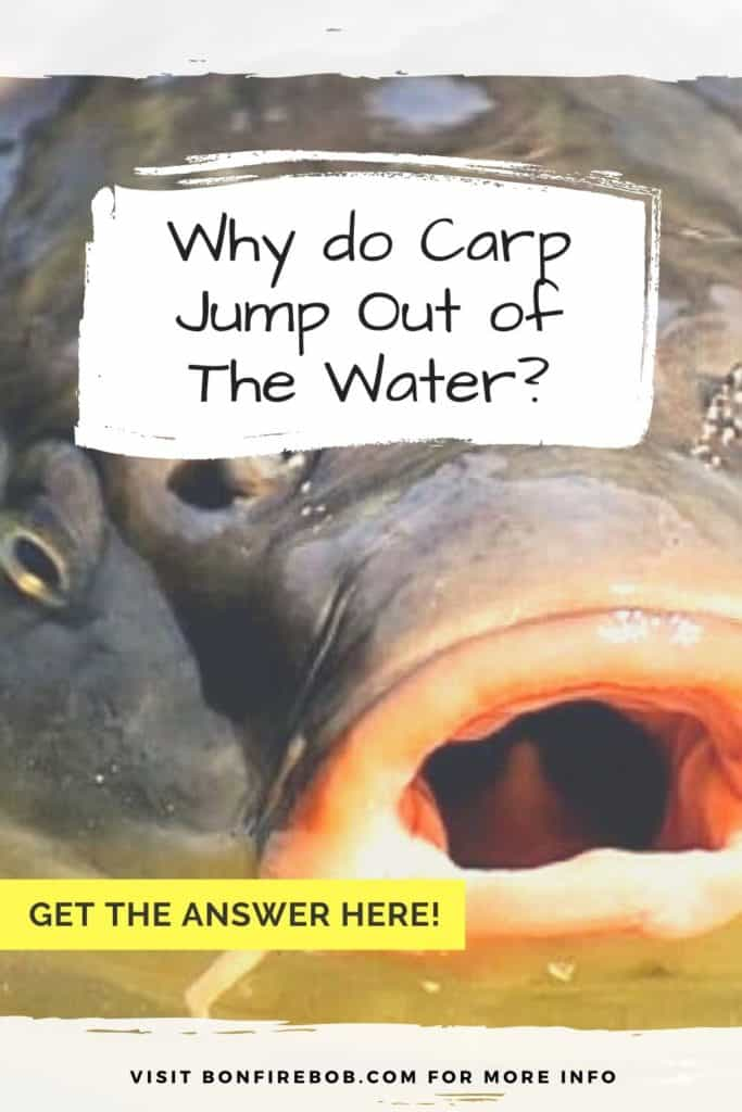 Why do carp surface and why do carp jump out of the water? I'll answer your question in this short article. Enjoy! #fishingbeginners #carpspawn #carptips #findingcarp #carpbite #fishingtips #carpfishing #catchingcarp #fishingforcarp #tipscarp #fishing