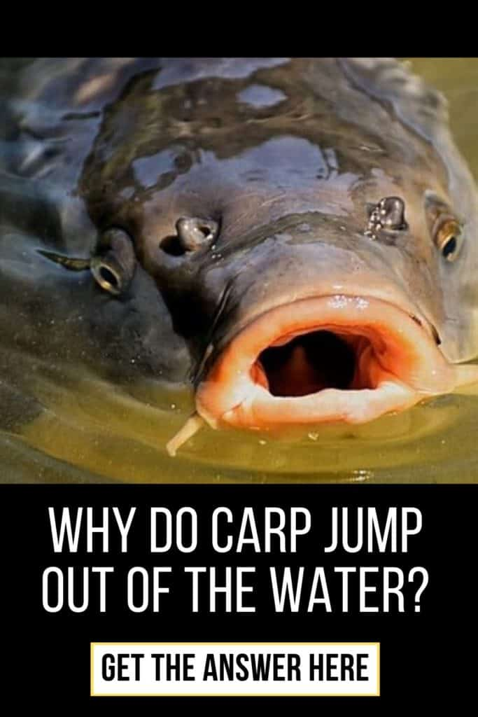 Why do carp surface and why do carp jump out of the water? I'll answer your question in this short article. Enjoy! #fishingforcarp #tipscarp #fishing #fishingbeginners #carpspawn #carpbite #fishingtips #carpfishing #catchingcarp #carptips #findingcarp